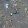 Common Frog spawn and tadpoles, Rana temporaria 0792