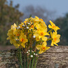 Daffodil, Narcissus pseudonarcissus 0802