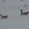 Greylag Goose, Anser anser and Canada Goose, Branta canadensis 3392