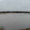 Canada Geese, Branta canadensis and Greylag Geese, Anser anser from Ramsar hide 53032