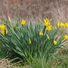 Daffodil, Narcissus pseudonarcissus 0780