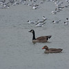 Canada Goose, Branta canadensis and Greylag Goose, Anser anser 3393