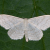Cream Wave, Scopula floslactata 4690