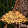 Speckled Yellow, Pseudopanthera macularia 4692
