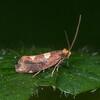 Common Bright, male, Incurvaria oehlmanniella 4778