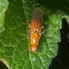 Rust fly, Psila fimetaria 8275