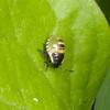 Common Green Shieldbug, 2nd instar nymph, Palomena prasina 8234