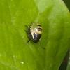 Common Green Shieldbug, 2nd instar nymph, Palomena prasina 8233