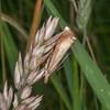 Garden Grass-veneer, Chrysoteuchia culmella 8297