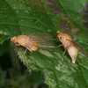 Lauxaniid flies, male and female 8210