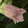 Deadly Nightshade, Atropa belladonna 8202