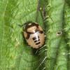Pied Shieldbug, late instar nymph, Tritomegas bicolor 8257