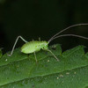 Speckled Bush Cricket, Leptophyes punctatissima 8181