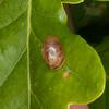 Kentish Snail, Monacha cantiana 8289