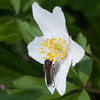 White-footed Hoverfly, Platycheirus albimanus 4453