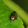 Leaf beetle, Chrysolina brunsvicensis 3860