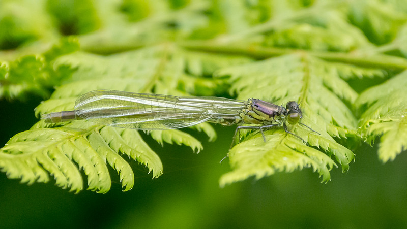 Red-Eyed Damselfly, teneral male, Erythromma najas P1250047