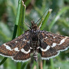 Wavy-barred Sable, Pyrausta nigrata 5872