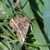 Straw-barred Pearl, Pyrausta despicata 6101
