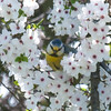 Blue Tit with pollen face, Cyanistes caeruleus in Blackthorn, Prunus spinosa 5718