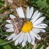 Straw-barred Pearl, Pyrausta despicata 6211