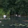 Mute Swan and cygnets, Cygnus olor 9797