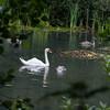 Mute Swan and cygnets, Cygnus olor 9802