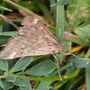 Straw-barred Pearl, Pyrausta despicata 9764