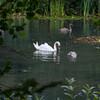 Mute Swan and cygnets, Cygnus olor 9801