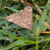 Straw-barred Pearl, Pyrausta despicata 9763