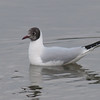 Black-headed Gull, Chroicocephalus ridibundus 3578