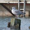 Herring Gull, juvenile, Larus argentatus 3383