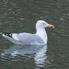 Herring Gull, Larus argentatus 3561