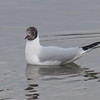 Black-headed Gull, Chroicocephalus ridibundus 3579