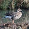 Swan Goose, Anser cygnoides 7377