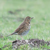 Song Thrush, Turdus philomelos 7354