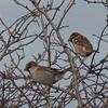 House Sparrow, Passer domesticus 7180