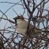 House Sparrow, Passer domesticus 7212