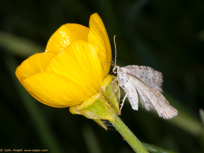 Grass Rivulet (Perizoma albulata) nectaring on buttercup Kithurst meadow 22 May (Colin Knight)