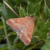 Straw-barred Pearl, Pyrausta despicata 4911