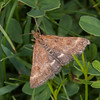 Straw-barred Pearl, Pyrausta despicata 4895