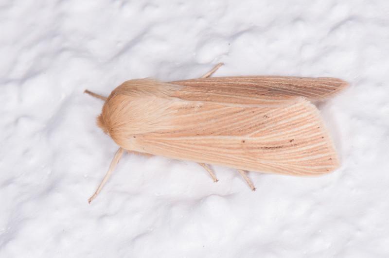 Common Wainscot, Mythimna pallens 0541