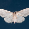 Small Dusty Wave, Idaea seriata 0550