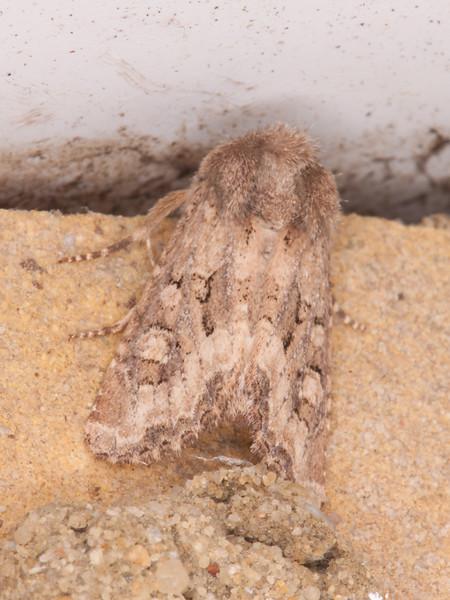 Flounced Rustic, Luperina testacea 0473