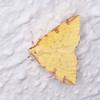 Brimstone Moth, Opisthograptis luteolata 0544
