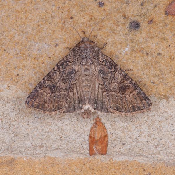 The Nutmeg, Anarta trifolii and Light Brown Apple Moth, Epiphyas postvittana 0524