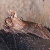 Dark Spectacle, Abrostola triplasia 0531