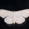 Small Dusty Wave, Idaea seriata 0555