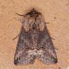 Dark Spectacle, Abrostola triplasia 0513