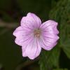 Dusky Cranesbill, Geranium phaeum 5477